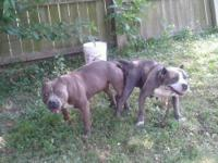 Pitbull For Sale In Kentucky Classifieds Buy And Sell In Kentucky