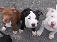 Description for sale 4 pure Pitbull puppies, 5 months