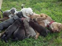 www.BackwoodKennels.com ADBA Registered Blue Pitbulls -