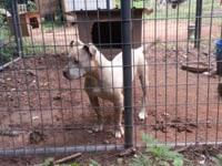 I have a 7 month old female pitbull. She is adba