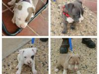 ADBA registered Blue Gotti pitbull puppies line breed