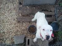 I have a white young female PitBull for sale for $400.