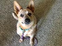 Addie's story Addie is a 6 month old red heeler who