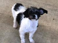 Addie is a 5 month old Rat Terrier/Shih Tzu mix. She is
