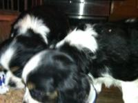 I have two amazingly cute 10 week old King Charles