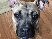 Adeline (Addie) is a ~7 month old Boxer mix looking for