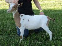 We have several Quality Nigerian Dwarf Goats for sale,