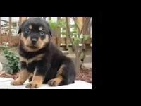 Admirable rottweiler  puppies ready for good
