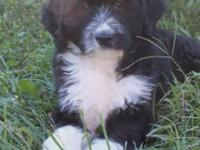 Gorges F1 Aussiedoodle, s 5 males 1 lady, Born 7/4/14