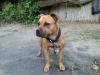 Letty is a well bred American Pit Bull Terrier. This is