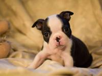 Lil Willian is beautiful brindle and white Boston boy