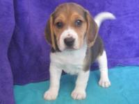 We currently have beautiful Beagle puppies for sale