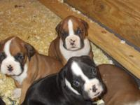 ADORABLE AKC REGISTERED BOXER PUPPIES. WE HAVE 2 RARE