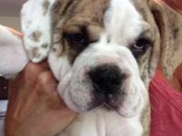 Our adorable Olde English Bulldogge puppy is white and