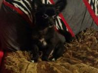Adorable little 5 month old 1/2 Pomeranian(mom) 1/2Toy