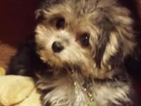 10 week old male Yorkiepoo prepared to be adopted! He's