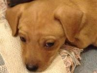 Adorable male puppy born September 8, 2013 is available