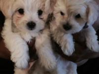 Adorable 12 week old maltipoo puppies, 2 females, 1