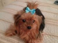 Adorable 1 yr old male yorkie. He's a little guy,