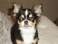 Spayed 2.5 yr old chihuahua. Good with cats kids and
