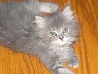 I have an adorable 3 quarter Persian female Kitten.She