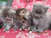 I have 5 adorable 3/4 Persian Kittens. 3 are Polydactyl