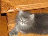 I have 3 adorable 3 quarter Persian Kittens. Two male