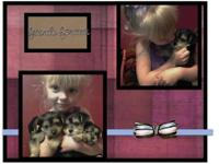 I have 2 3/4 Yorkie puppies looking for forever homes.