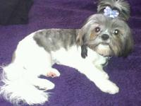 Chase is our adorable 3 month old Yorkie/Shih Tzu. His