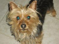 Chico is a beautiful Teddy Bear face yorkie he is very