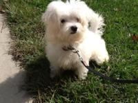 This four month old female Maltese puppy needs a great