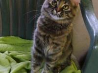 Beautiful 4 month old Medium haired kitten for