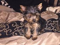 Last female Yorkie puppy for sale. 5 months old,