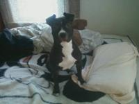 I have a 5 month old staffordshire terrier named Lola