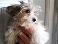 Lovable 6 month old male Morkie. Beautiful long haired
