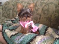 Purebred, healthy, adorable female teacup yorkie. She