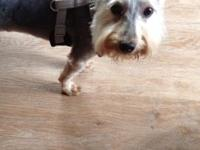Beautiful 7 month old terrier, 7-8 lbs, need to
