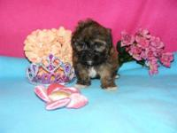 7 week old, 1 female Havanese/Shih Tzu mix young puppy