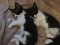 8 week old black and white kittens. They are so cute