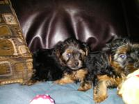 We have 3 adorable yorkie boy puppies who are 8 weeks