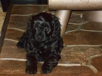 Dakota is a 4th generation Cockapoo with glossy black