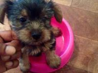 I have 4 - 8 week old yorkie puppies for sale. (1) girl