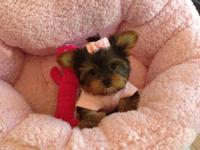We have 3 adorable full breed Yorkie terriers available