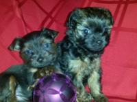 I have 2 girl yorkies are just turn 8 weeks old , ready
