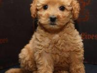 Precious Cavapoo young puppies have been vet.