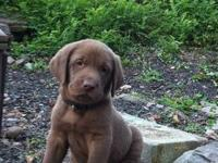 Adorable Purebred English breed Choc Lab Puppies.