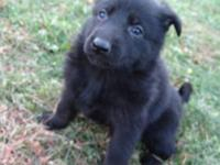 Purebred German Shepherd pups for sale!! Born Sept 21,