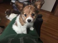 I have 2 beautiful Papillon puppies for sale! They are