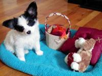I have 3 lovely papillon puppies available! They were