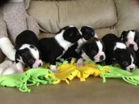Boston Terrier ACA registered puppies. Four females and